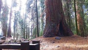 Дерево генерала Шермана на солнечный день падения в гигантском лесе сток-видео