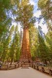 Дерево генерала Шермана в национальном парке секвойи, Калифорнии США Стоковое Фото