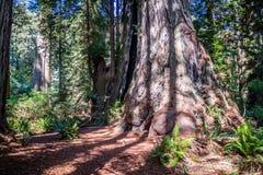 Дерево гигантской секвойи в соотечественнике & парках штата Redwoods Стоковые Фото