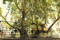 Дерево Гиппократа стоковые фотографии rf