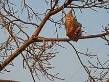 Дерево гнезда муравьев Стоковое Фото