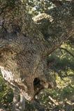 Дерево горгульи Стоковое Изображение RF