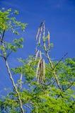 Дерево горькое огурц-китайского (бегство Moringa oleifera.) Стоковое Изображение RF