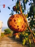 Дерево гранатового дерева в домашнем дворе стоковые фото