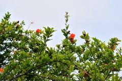 Дерево гранатового дерева стоковые фотографии rf