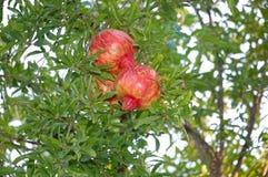 Гранатовое дерево Стоковые Фото