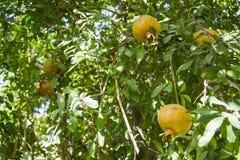 Дерево гранатового дерева Стоковая Фотография RF