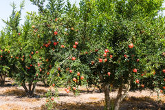 Дерево гранатового дерева Стоковое фото RF