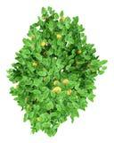 Дерево грейпфрута с грейпфрутами изолированными на белизне Взгляд сверху иллюстрация вектора