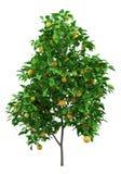 Дерево грейпфрута с грейпфрутами изолированными на белизне иллюстрация вектора