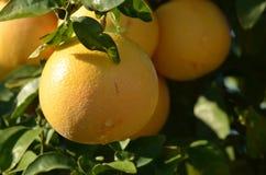 Дерево грейпфрута Стоковые Изображения RF