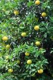 Дерево грейпфрута Стоковая Фотография