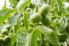 Дерево 3 грецких орехов Стоковая Фотография