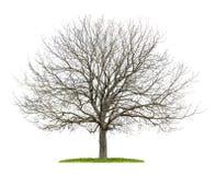 Дерево грецкого ореха в зиме Стоковая Фотография RF