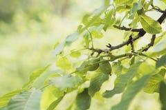 Дерево грецкого ореха к лето стоковые фото