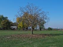 Дерево грецкого ореха на поле, с упаденными листьями вокруг его, время осени Стоковые Изображения RF