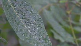 Дерево грецкого ореха под падениями дождя сток-видео