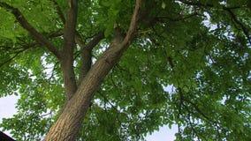 Дерево грецкого ореха с зелеными листьями сток-видео