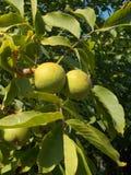 Дерево грецкого ореха с плодоовощами Стоковые Фотографии RF