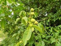 Дерево грецкого ореха Стоковое Изображение
