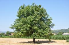 Дерево грецкого ореха Стоковые Фото