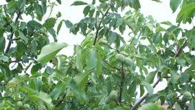 Дерево грецкого ореха акции видеоматериалы