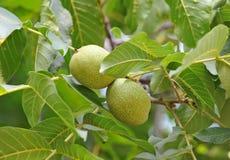 Дерево грецкого ореха (regia Juglans) с плодоовощ Стоковые Изображения
