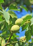 Дерево грецкого ореха (regia Juglans) с плодоовощ Стоковая Фотография