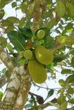 Дерево джекфрута в саде Стоковое Изображение RF