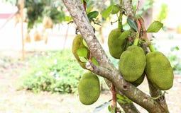 Дерево джекфрута на природе Стоковое Фото