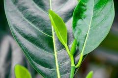 Дерево джекфрута Стоковые Изображения RF