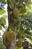 Дерево джекфрута Стоковые Фото