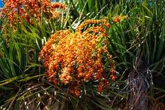Дерево дракона с оранжевыми плодами стоковое изображение rf