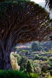 Дерево дракона Тенерифе известное в Icod de Лос Vinos, Канарских островах Испания конец вверх стоковое фото