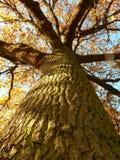 Дерево дуба стоковое фото