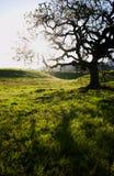 Дерево дуба стоковая фотография rf
