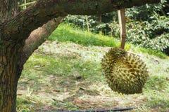 Дерево дуриана в саде Стоковые Изображения