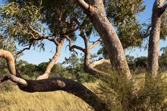 Дерево евкалипта, северные территории, центральная Австралия Стоковые Фотографии RF