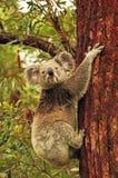 Дерево евкалипта одичалой коалы взбираясь Стоковые Фотографии RF