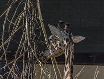 Дерево еды жирафа головное в солнечном вечере Стоковое Изображение
