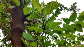 Дерево ежевики с цветком и плодоовощ в развитии Стоковые Изображения RF