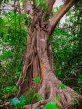 Дерево естественных лоз стоковое изображение