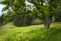 Дерево лета в луге Стоковая Фотография