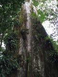 Дерево лет сотен Стоковая Фотография RF