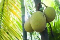 Дерево джекфрута в Minneriya, Шри-Ланке Стоковые Изображения