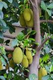 Дерево джекфрута и их лист в предпосылке Стоковые Изображения RF