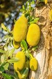 Дерево джекфрута Стоковое Фото