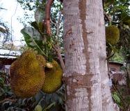 Дерево джекфрута Стоковая Фотография