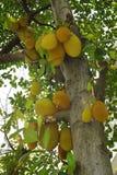 Дерево джекфрута Стоковые Изображения