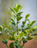 Дерево джекфрута Стоковое фото RF
